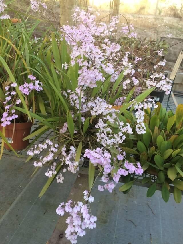 Jardim com mini orquídeas espécies