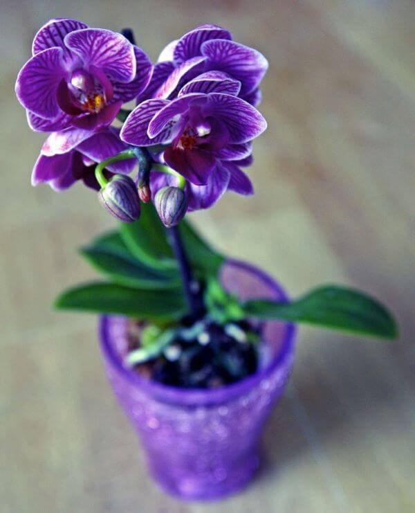 Mini orquídea roxa com vaso combinando