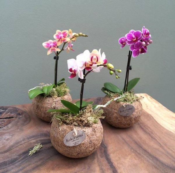 Mini orquídea para decoração de casa