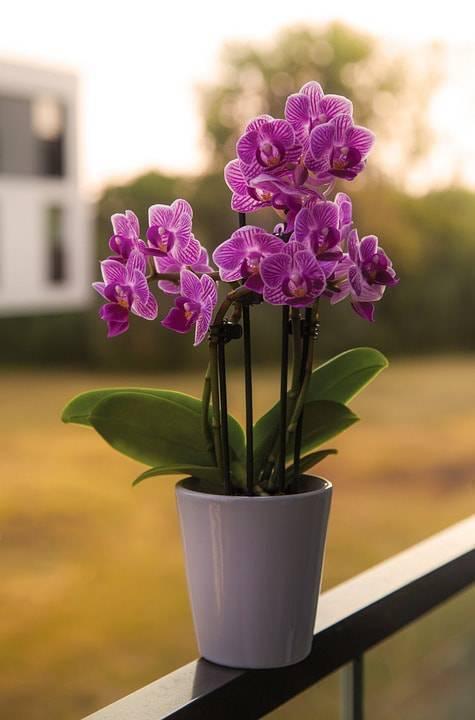 Mini orquídea roxa no aparador da janela