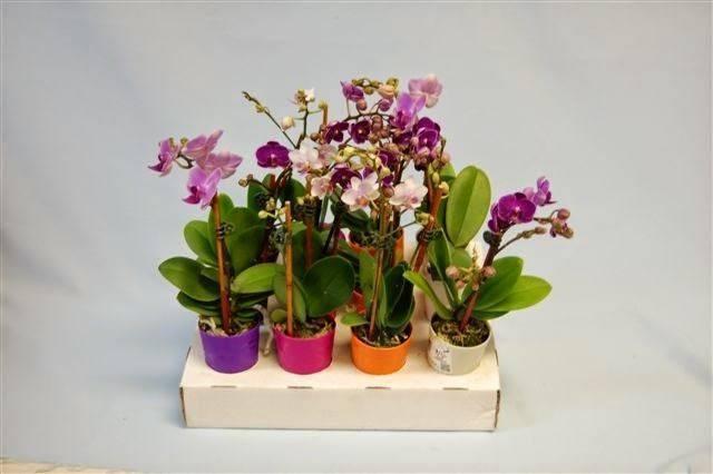 Orquídea mini em diferentes cores