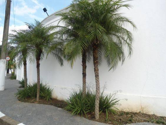 palmeira fênix - canteiro com palmeira fênix