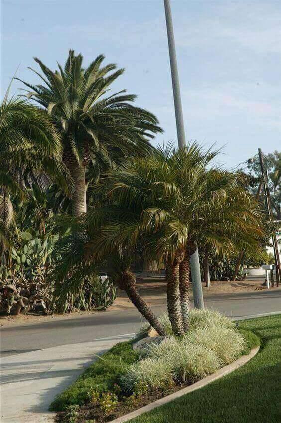 palmeira fênix - canteiro com palmeiras fênix