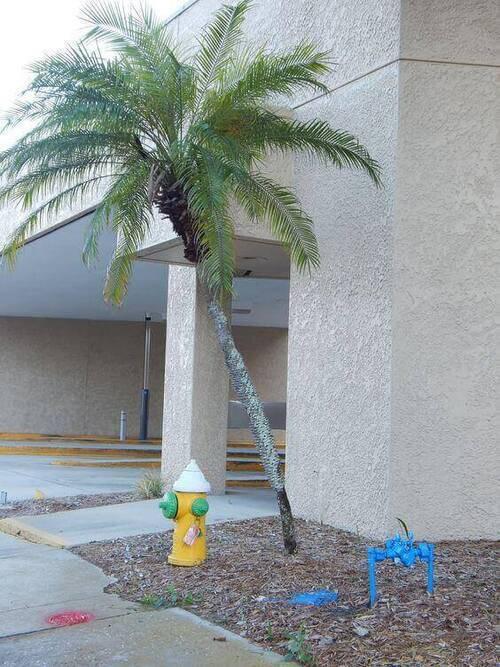 palmeira fênix - canteiro pequeno com palmeira fênix