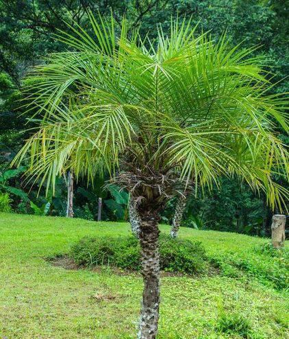palmeira fênix - detalhe de palmeira fênix