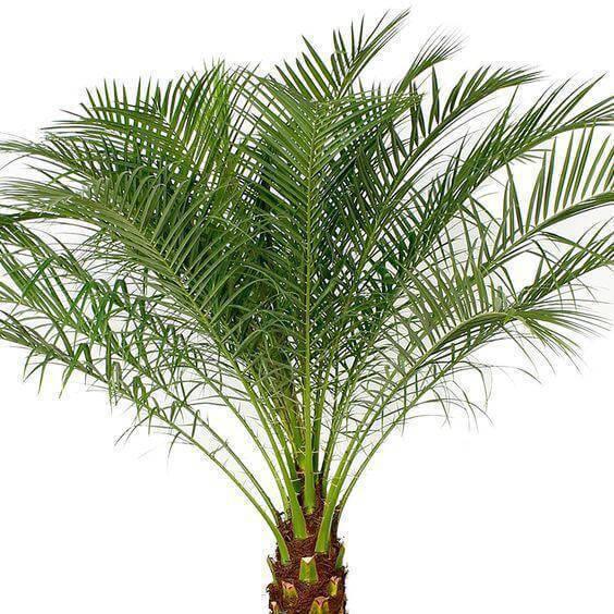 palmeira fênix - folhas de palmeira fênix