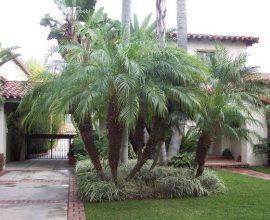 palmeira fênix - jardim com palmeiras  - Plant Clearance