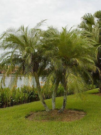 palmeira fênix - jardim de palmeira fênix