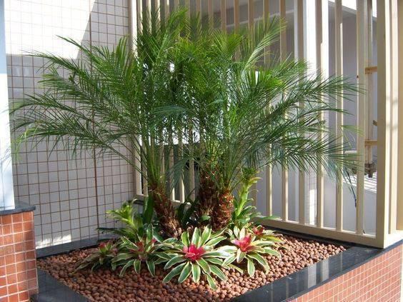 palmeira fênix - palmeira em canteiro de quintal