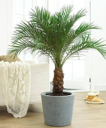 palmeira fênix - palmeira em vaso de pedra