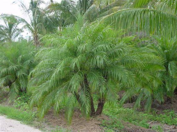 palmeira fênix - palmeira fênix com folhas grandes