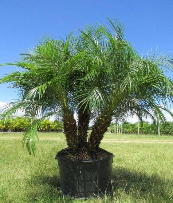palmeira fênix - palmeira fênix com troncos largos