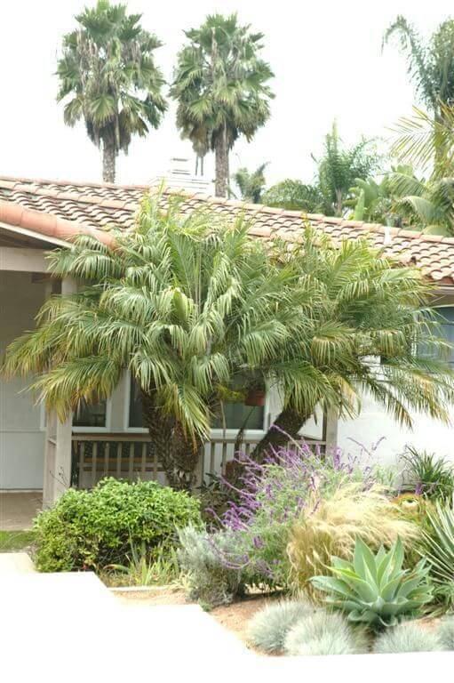 palmeira fênix - palmeira fênix em quintal de casa