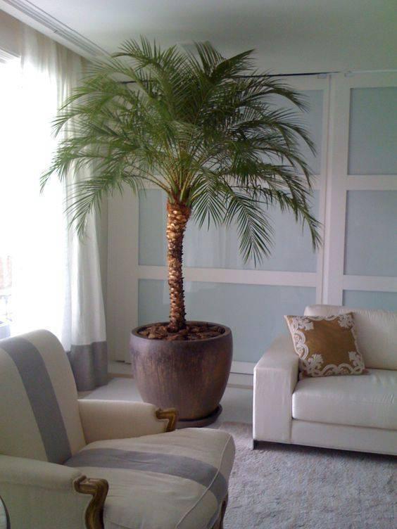 palmeira fênix - palmeira fênix em sala de estar