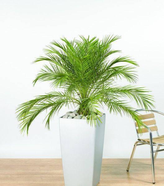 palmeira fênix - palmeira fênix em vaso branco grande