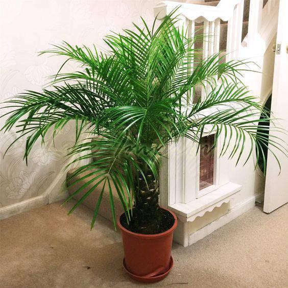 palmeira fênix - palmeira fênix em vaso de barro