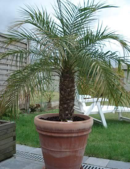 palmeira fênix - palmeira fênix em vaso grande de barro