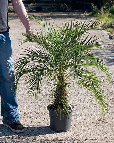 palmeira fênix - palmeira fênix em vaso pequeno