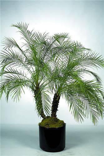 palmeira fênix - palmeira fênix em vaso preto