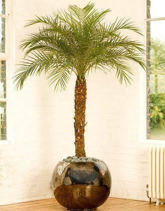 palmeira fênix - palmeira fênix em vaso redondo