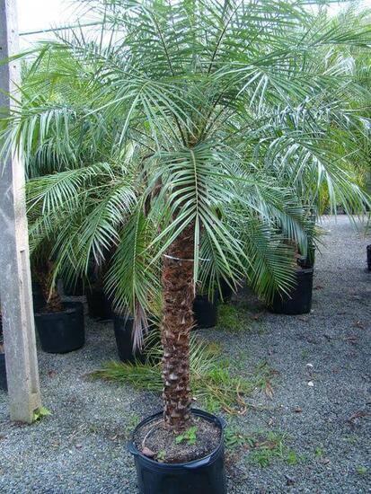 palmeira fênix - palmeira fênix grande e grossa