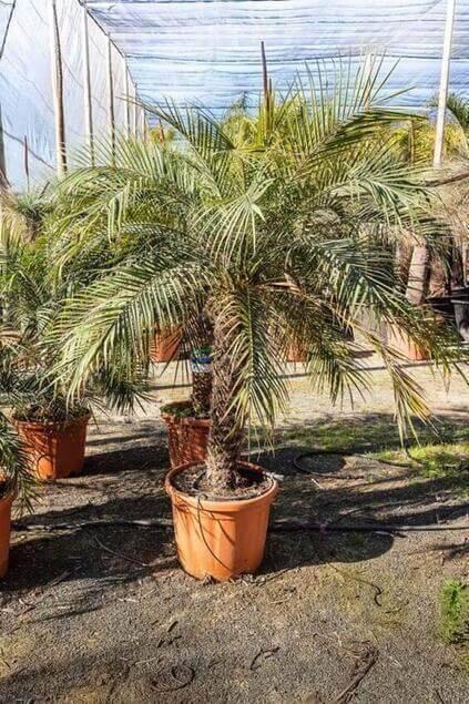 palmeira fênix - palmira em vaso de barro