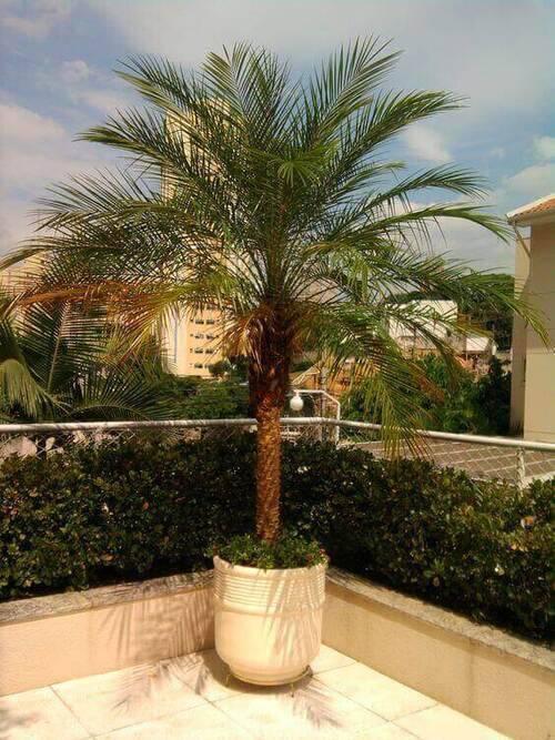 palmeira fênix - varanda com palmeira fênix