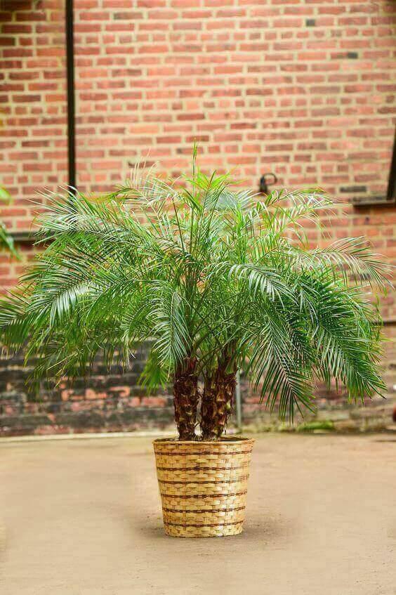 palmeira fênix - vaso de palha com palmeira fênix