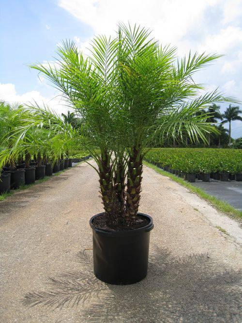 palmeira fênix - vaso preto com palmeira fênix
