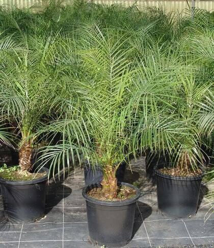 palmeira fênix - vasos de palmeira fênix