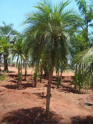 palmeira fênix - vivário de palmeira fênix