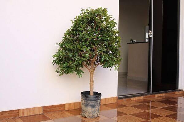 A jabuticabeira é uma das árvores frutíferas que pode ser cultivada em vaso
