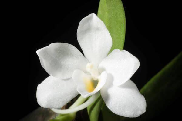 Orquídeas raras da espécie Amesiella Monticola