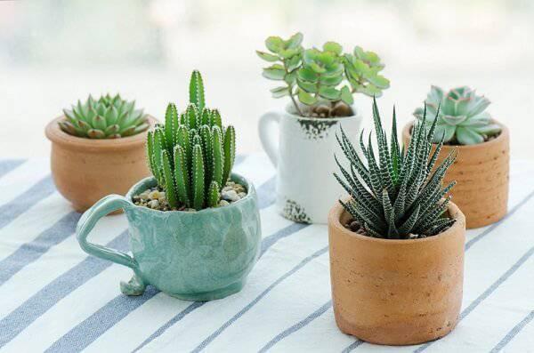 É possível cultivar diferentes tipos de cactos em xícaras e vasos de barro