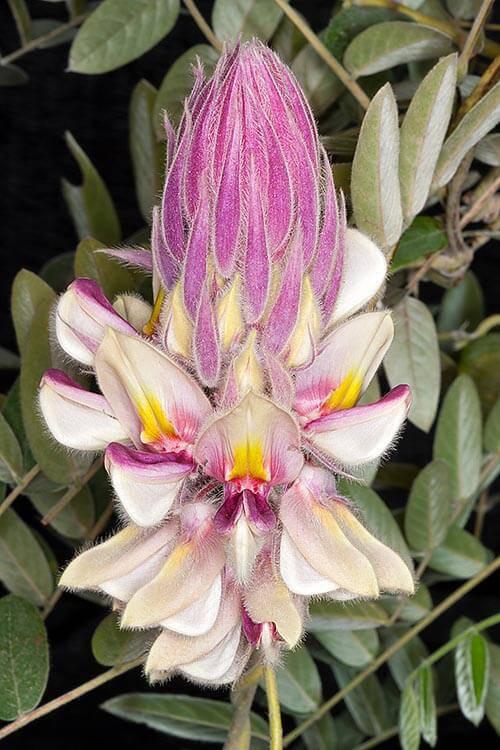 Orquídeas raras são lindas para admirar