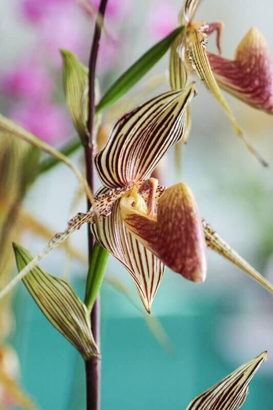 Orquídeas raras da espécie Paph Rothschildianum