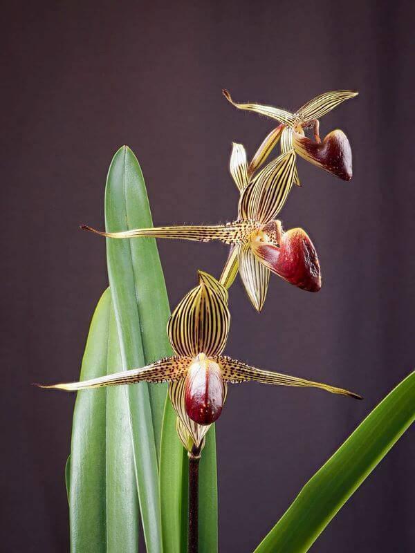 Conheça as orquídeas raras