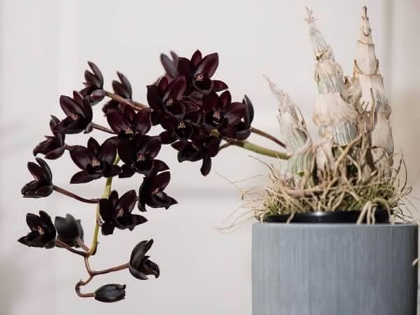 Orquídeas raras espécie orquídea negra