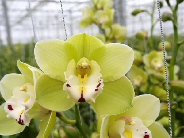 Orquídeas da espécie Shnzhen Nongke