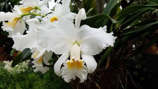 Orquídeas raras em branco e amarelo