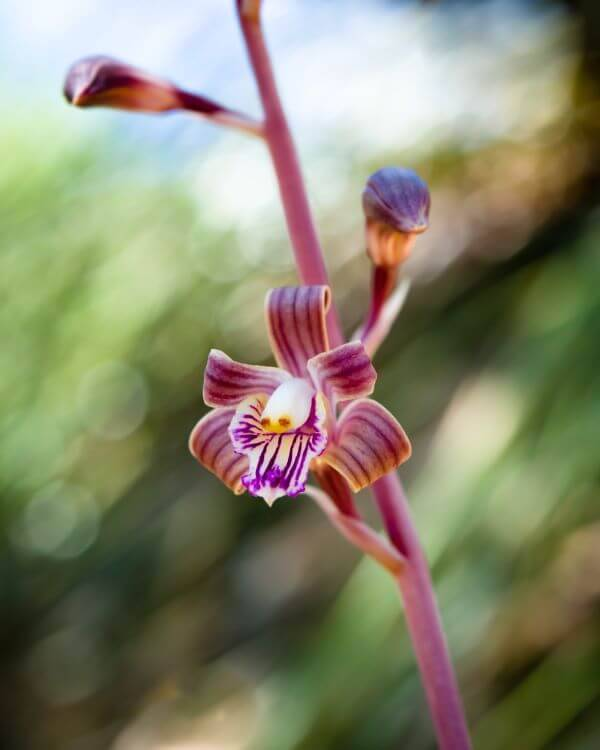 Orquídeas espécies raras: Colemans Coral Root