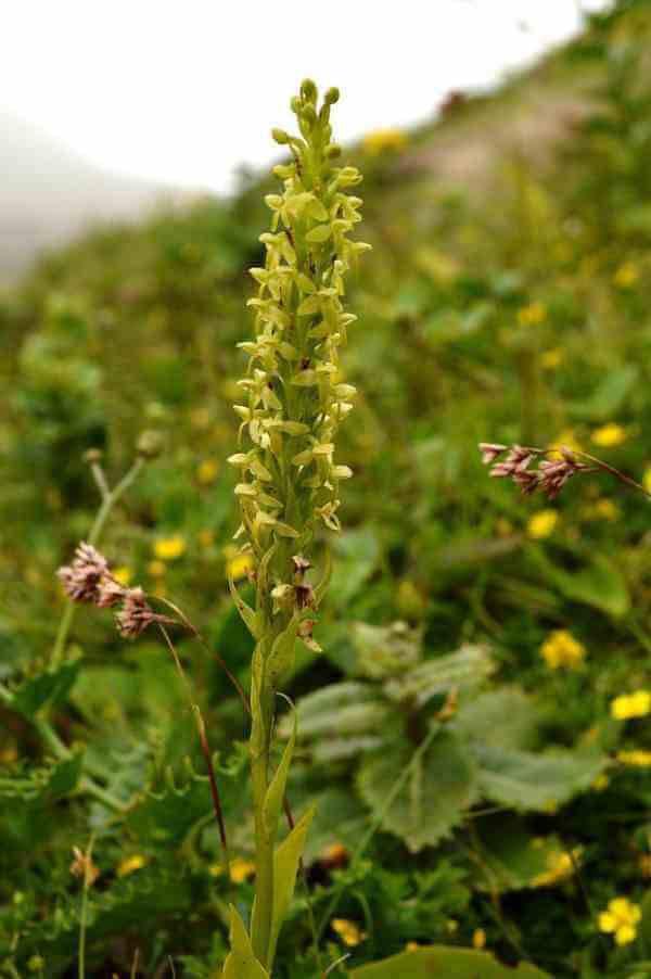 Espécie de orquídea Plantanthera Azoica