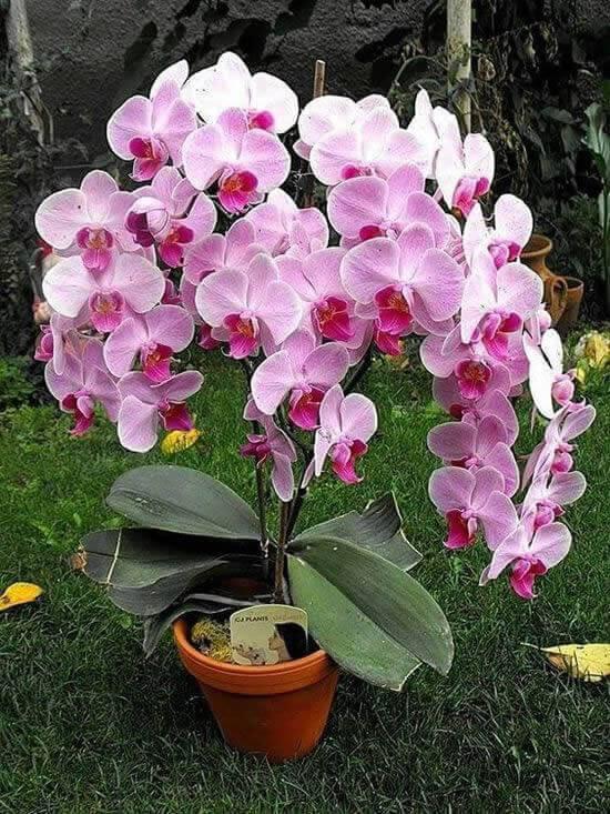 Orquídeas raras no vaso como cuidar