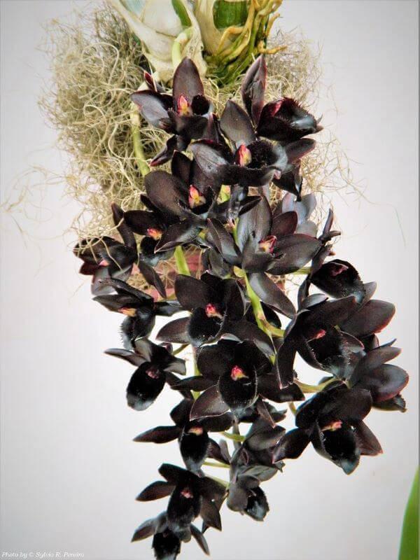Orquídea negra, orquídeas rara