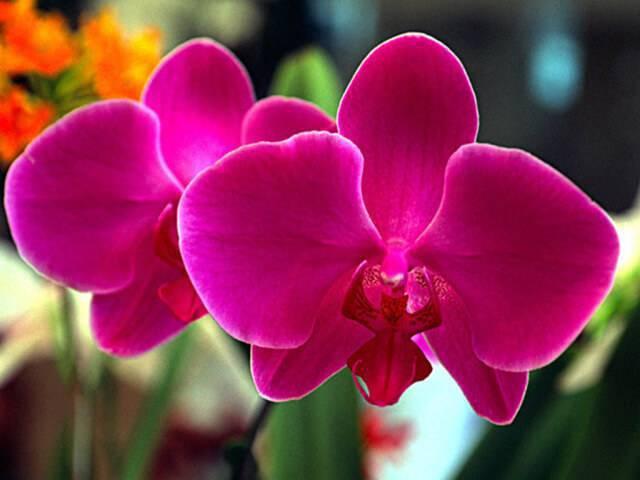 Orquídeas raras na cor pink