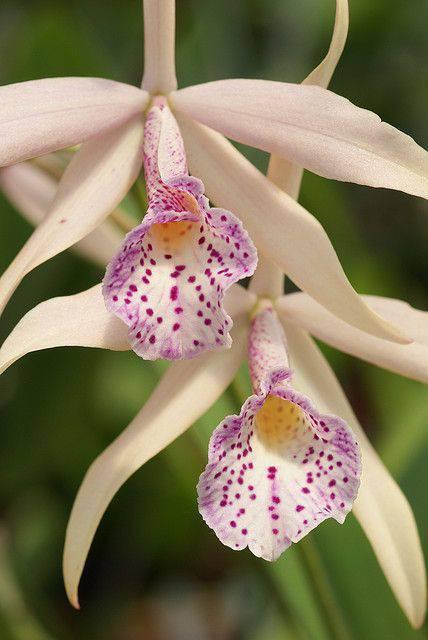 Orquídeas raras em branco com desenhos em roxo e amarelo
