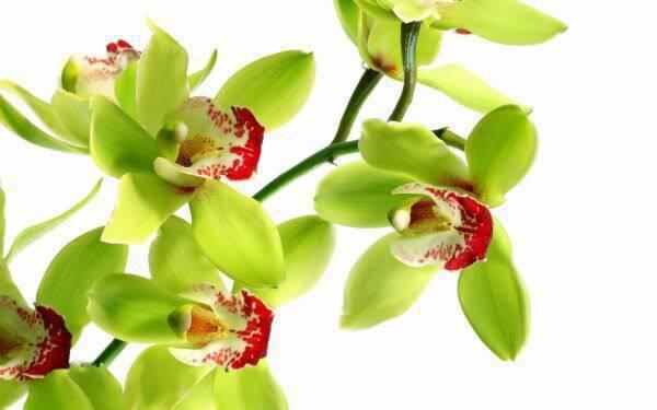 Orquídeas raras da espécie: Shenzhen Nongke Medium