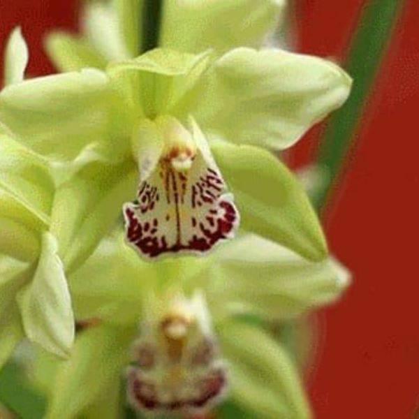 Orquídeas raras em amarelo e vermelho da espécie Shenzhen Nongke