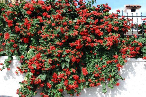 Flores vermelhas Clerodendrum