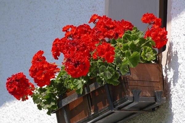 Floreira de madeira com gerânios